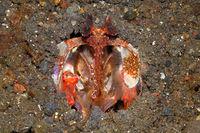 Spearing  Mantis Shrimp, Lysiosquillina lisa