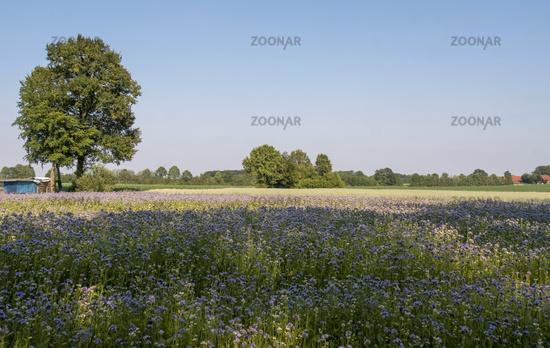 Field with bee friend (Phacelia)