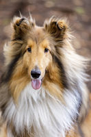 Shetland Sheepdog (AKA Sheltie) Tri Color Male Portrait.