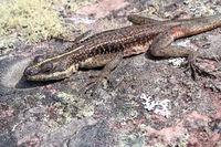 Striped Lava Lizard, Tropidurus Semitaeniatus on stone, Cachoeira Da Fumaca, Smoke Waterfall, Chapada Diamantina, Brazil