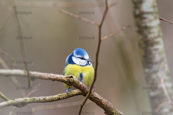 Blue tit sitting on a branch in the tree