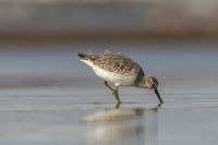 Great Knot, Calidris tenuirostris, Akshi, Alibagh, Maharashtra, India.