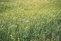Field with unripe green wheat - abstract agriculture background