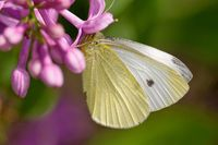 Green-veined white on lilac