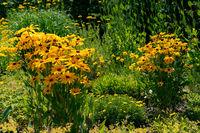 colourful yellow coneflowers in bright sunshine