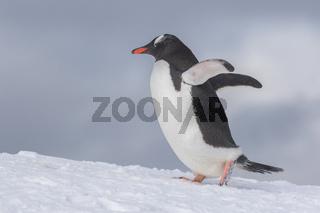 Gentoo Penguins on Iceberg