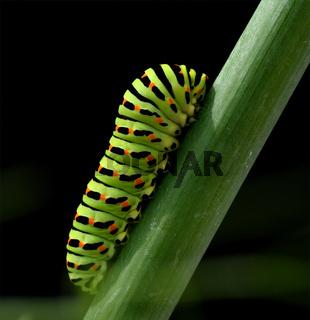 Raupe, Schwalbenschwanz, Papilio, machaon,