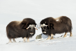 Close up of two young Musk Oxen standing in snowy Dovrefjell mountains