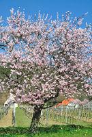Almond Blossom in Palatinate in Gimmeldingen,Germany