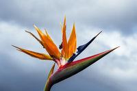 Paradiesvogelblume in Funchal auf der Insel Madeira, Portugal
