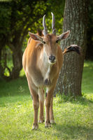 Common eland stands near tree watching camera
