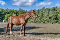 A brown mare stands in a pasture