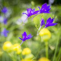 Violet flowers in the meadow