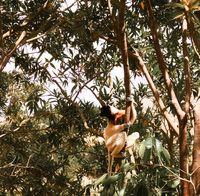 Portrait of the crowned sifaka aka Propithecus coronatus at Lemurs park, Antananarivo, Madagascar