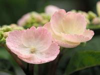 Hydrangea macrophylla Camino