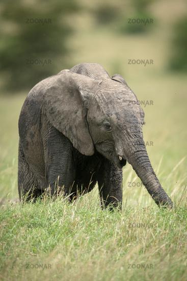 African bush elephant calf stands eating grass