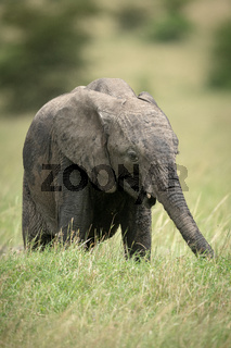 African bush elephant calf stands eating grass