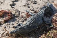 Crocodile, Crocodylia, on the banks of the Okavango