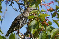 Common starling in autumn