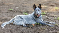 Australian Cattle Dog male resting near a ball.