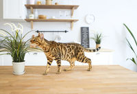 Beautiful bengal cat sitting on white table at home with the plant