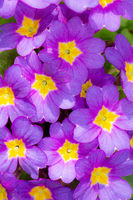 Floral background with purple pansy flower blossoms