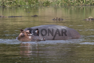 hippopotamus that stands in the water on the shallows of the Nile River in the dry season