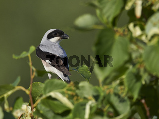 lesser grey shrike, Lanius minor, schwarzstirnwuerger