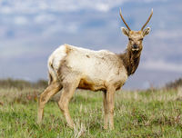 Tule Elk Bull Yearling Urinating