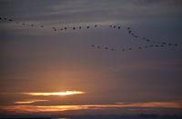 Cranes at sunrise