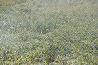 Sprinkler irrigation machine watering a wheat field, artificial rain, hot summer 2018,global warming