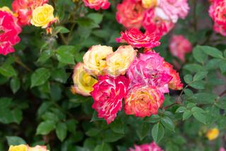 Multicolor roses in a garden