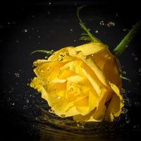 Yellow rose head water splash with black background.