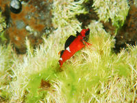 Bright orange fish with black and white markings