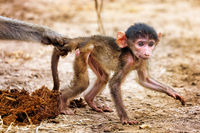 baboon stooped by his mom, South Luangwa National Park, Zambia