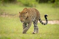 Male leopard lifts paw crossing short grass