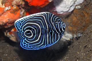 Emperor Angelfish, Pomacanthus imperator, juvenile