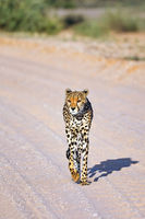Cheetah, Kgalagadi Transfrontier National Park, South Africa, (Acinonyx jubatus)