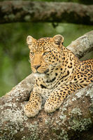 Close-up of leopard looking down from tree