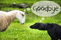 Dog Meets Sheep, English Text Goodbye, Norway