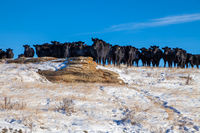 A heard of free range cattle on a ranch in southern Alberta