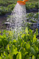 Watering of beds from a watering can. Care of beds. Caring for plants. Water from the Luica. Water stream down