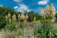 scenic summer flower bed featuring several white yucca filamentosa and sage