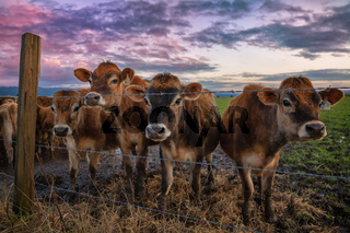 A Group of Friendly Cows at the Fence
