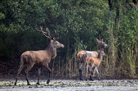 Red Deer stag, hind and calf