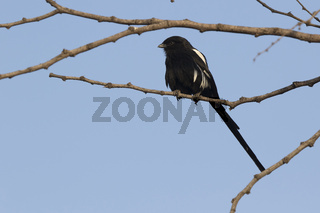 Magpie-Shrike that sits on a dry tree branch in the African savanna