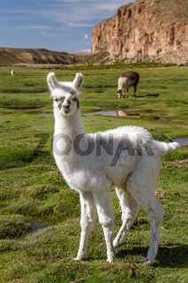 Alpacas grazing in Bolivian Altiplano