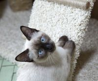 Thai breed kitten color seal point looking at the camera