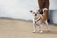 Small dog on a walk in the city