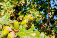 acorns on the tree close up